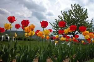 Le parterre de tulipes - La Montagne de Brancion entre Tournus et Cluny