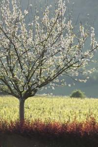 Le verger en fleurs - La Montagne de Brancion entre Tournus et Cluny